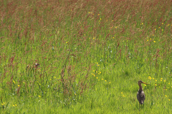 Grutto bij Hofstede Spyk Texel © www.photo-coco.com