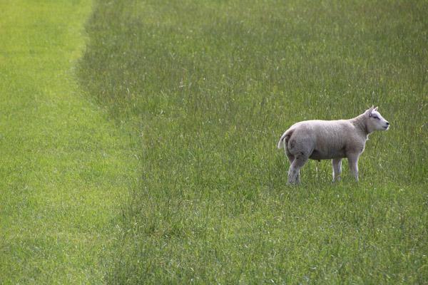 Lente Lammetje Texel © www.photo-coco.com