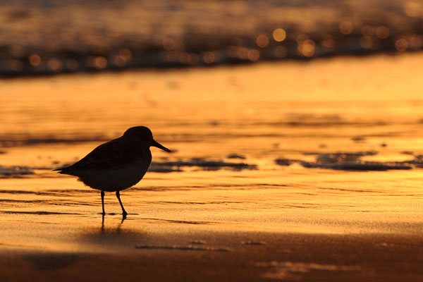 Hofstede Spyk, Texel. Foto's vogelaars: Drieteentrandloper
