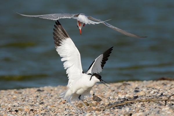 Hofstede Spyk, Texel. Foto's vogelaars: Kluut & Visdief